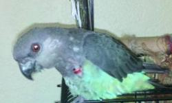 Poicephalus/Senegal - Kito - Small - Adult - Female - Bird Kito is a very cute female Senegal; she was formerly on a mainly seed diet and is learning to eat vegetables and other healthy table foods. She is quite new to our program; please stay tuned for