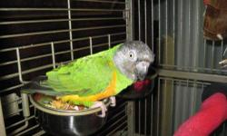 Poicephalus/Senegal - Merlin - Senegal - Small - Adult - Bird Merlin, Senegal Merlin watches my every move as I wash dishes and make coffee in the kitchen. He is a fun bird to have around; alert, playful, and smart. If he wanders too far from his cage, or