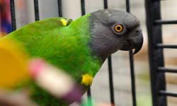 Poicephalus/Senegal - Mr. Green Jeans - Medium - Adult - Male Mr. Green Jeans is an approximately 15 year old DNA-sexed male Senegal Parrot. He is tame and handlable but needs work on socialization. He prefers women. He is not good around children. He has