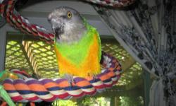 Poicephalus/Senegal - Oscar - Senegal - Small - Adult - Bird Oscar, Senegal Parrot Oscar lives in Portland, Oregon. *To adopt a bird you must attend EBR Orientation class. Please check our website for class schedules. We only adopt within reasonable