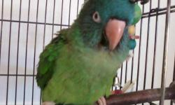 Poicephalus/Senegal - Peanut - Medium - Adult - Male - Bird Peanut came to us from a rescue group in Mesquite, Nevada, with no records or background. We are not sure how old he is, but he seems young. He is a very sweet, interactive little bird. Senegals