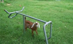 Nubian goat buckling, born June 28th, 2013. He's naturally polled!