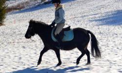 Pony - Archer - Small - Adult - Male - Horse Archer is a chestnut quarter pony who can go Western or English. He is an experienced gymkhana pony and is a blast to ride! Archer is brave and good on the trails too. This versatile pony is ready for a child