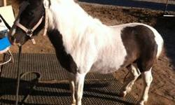 Hi this is a 2 year old black and white stud pony he is halter Broke and will follow you anywhere on a lead rope he needs someone willing to spend a lot of time with him and work with him if you have questions please call 9512649723 thanks. This ad was