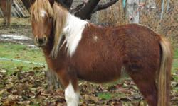 """Paint Filly/mare, 34"""" (8.5hh) One and a half year old Great disposition-calm Trained to halter, Started in harness and cart. Leads, loads, trailers, trims, socialized and desensitized to traffic, kids, dogs, and more. She will be old enough to carry"""