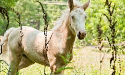 Pony - Warrior - Medium - Young - Male - Horse Warrior is a striking pony that did not have the best start at life. His mother was tied to a tree in the heat of the summer with very little water and no food available. Warrior was running loose and had not