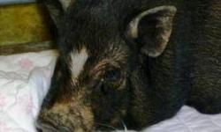 1 female pot-bellied pig, black. she maybe pregnant. 1 male pot bellied pig. black/white. They are outside pigs. but would love to be inside. 1 female pot-bellied pig about a year old. black/white. she is an inside/outside pig. Having to move and need to