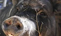 Pot Bellied - Holly - Medium - Adult - Female - Pig Holly has quite a family history. She's a part domestic Hampshire and part feral pig. She and her brother, Nick, were born late in 2009 in California, and have grown by leaps and bounds. They're an