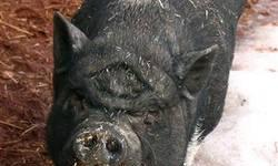 Pot Bellied - Penelope - Medium - Senior - Female - Pig Penelope took a while to warm up to others when she first arrived at Best Friends. Of course, if you'd been booted out like Penelope, you might be ornery too. Pignorant neighbors complained about the