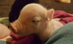 Pot Belly piglets born 7/2/16, healthy, adorable, good little temperaments, little enough to be house trained and have been raised on small farm with lots of TLC, 7 total, cute colors, red and white, black and white, little spotted rumps, or white, male