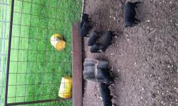 Pot Belly Pigs! I have many pot belly pigs for sale. Males and females available. All are black. Some are black with pink and/or white markings. I have all different ages available. I also have a few bred females available. They are proven breeders and