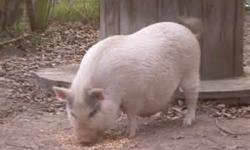 We have 2 white pot belly pigs for sale. They are super friendly. Both have lived indoors but are currently outside now that the weather is warm. They are both great with dogs and cats and other animals. One is just 6 months old and the other 12 months
