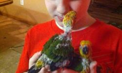 pair of very bonded sun conures.. 350.00 will meet in a public place