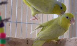 1 Pr Yellow Parrolett, 3 years, asking $155, proven. 7mo Green Parrotlett, (out of a Yellow and Blue) also . 7 mo blue Parrotlett, selling them as a pair, asking $125 Willing to trade for a Green Cheek or pr English Budgies, breeder cages