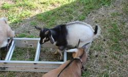 She thinks she is a dog and really sweet but needs a new home.she is a dairy goat.