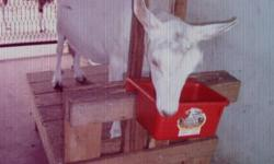 2 yr old Saanen, gives 3quarts of milk daily, bred again and is due June 5th; the buck is American Alpine; must sell b/c county gave me notice to remove illegal animals....