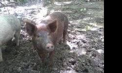 I have a pregnent 1/2 hampshire 1/2 yorkshire, breed over a full blood hampshire that i have to sale. we are buying a new vehicale and it is getting hard to feed her ever expanding gurth. if you are interested please e-mail me, looking to sell her fast. I