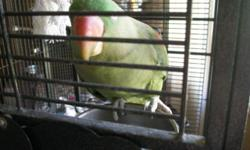 Pretty female Alexandrine Parakeet Younger, healthy, vet checked She's on Zupreem, seed and fresh fruit/veggies Fiona loves to be out of her cage She comes with a really big cage and toys Rehoming fee 650.00