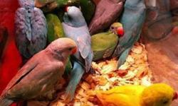 Indian ringnecks available. 2 greys & 1 green. We have a lot more coming out of nest boxes next week and pictures will be posted next weekend! Each baby is $450. We can DNA for $25. We also ship for $125 extra. Newest babies won't be weaned until 8 weeks.