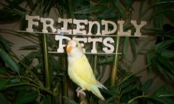 FRIENDLY BREEDER BABIES LOVE BIRDS PLEASE FEEL FREE TO CALL ME TO THE 305-903-9915 IN SPANISH OR 786-261-9279 IN ENGLISH OR YOU CAN VISIT THE STORE IN 9642 SW 72 ST MIAMI FL 33173