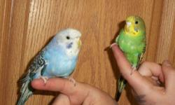 I have 7 beautiful hand fed male & Female parakeets. There are a variety of colors available. We have blue purple white green and many more. male and females available All very tame. They will sit on your shoulder won't fly off. They have been exposed to