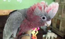 Rose breasted cockatoos available!! Still being hand fed! Deposits being taken now. https://www.facebook.com/PoconoAna