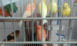 Young Canaries less than 1 yr old. I have Yellow Males $80, Yellow Females $60, Red-Factor Males $95, Red-Factor Females $80, Mosaic Males $80, Mosaic Females $60. Males singing pretty song. Call or text