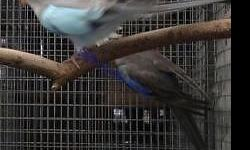 Blue male white female breeding pair $600. please contact 8186409229 This ad was posted with the eBay Classifieds mobile app.