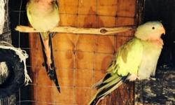 Proven pair of Princess of Wales about 2 to 3 years old $375.00 hablo espa?ol 805 3687321