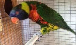 I have a very fertile and very prolific pair of Rainbow Lorikeets for sale. They just had 2 babies. Sold right out the box. not sure of age. Male is plucked up by the female but the female is really beautiful. As u can see by the picture they mate all the