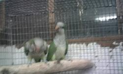 BEAUTIFUL BIRDS GREAT PARENTS HAS HAD BLUE BABY AND SPLITS LAST BABY IS ONE OF THEIR BABIES FORSALE $200 LOCATED IN LENOIR NC WILL COST MORE IF WE HAVE TO TRAVEL VERY FAR CALL #(828-758-4427)
