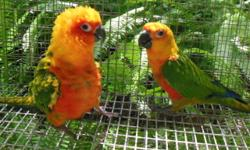 Breeder downsizing do to increased family responsibilities.I have a proven breeder sun conure pair.This pair has produced many clutches.Approximately 10 years old.asking 400.00 obo.Also a three year old proven sunday pair.This pair has also produced many