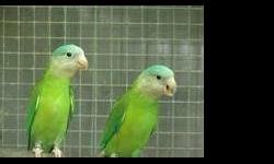 Proven breeding pairs of Canary Winged Parakeets !!! 3 pairs available !! there 2.5 years old $200 a pair call (619)240-9287