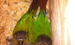 I have a proven female Green Cheek conure for sale. Approximately two years old. She recently lost her mate who was 6 years her senior. Rather than pair her up again, we are short on cage space and decided to sell her as a breeder or pet to someone that
