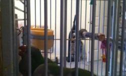 We have a 4 year old proven pair of Green Quaker Parrots. They had a clutch of 5 this year and 5 last year, but will double clutch as they did last year...had 4 that time..Thats alot of handfeeding. We had sold the handfed babies for $150 each with no