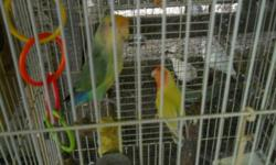 Due to unforseen circumstances I need to rehome some of my birds 1 proven pair peachface lovebirds make offer 1 proven pair yellow parrotlets on eggs make offer 1 vet sexed male amazon semi-tame $500 7 white ringneck doves $5.00 ea