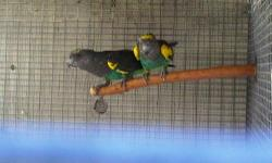 I need some Money, Im selling off my Meyers pair. Please call me price is FIRM 6 year old PROVEN BREEDERS, In great condition. http://losangeles.ebayclassifieds.com/birds/artesia/proven-pair-meyers/?ad=23941338 Call or Text 5624129865