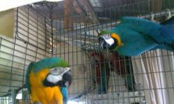 We have a proven pair, mama is Blue and Gold and daddy is Scarlet.. The babies are Catalina.. This pair will sit and feed until you pull the babies.. Mama has a cataract in her left eye but it does not hender her by any means.. We do ship out of Myrtle