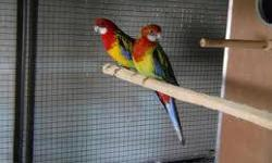 I have family of 5 ... 1 pair of rosella and 3 babies 6 weeks old.... Finding a new home for all... relocation You can buy the babies for 137 each and 378 for the proven pair of rosella