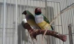 I have a proven pair lady gouldian for sale or trade for a 2.5 to 4 pounds male chihuahua or a female boston terrier. Let me know what you have I might interested. They just had a batch of 4 babies and they are fixing the nest again. Get them before they