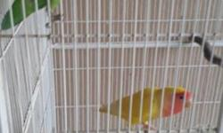 Proven pair LOVEBIRDS. TWO years old. Female is lutino. Male is green. Call or tex 7864885939