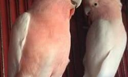I'm selling a pair proven to previous owner of major mitchell cockatoos. I'll only accept exchange them for a proven pair or pet of moluccan cockatoos, rose breasted, and citron, plus cash Obviously! If intrested call for more information. great birds no