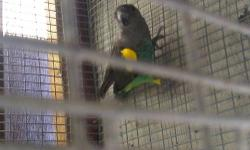 I have a pair of Meyers parrot i need gone by either tonight or tomorrow morning. 6 years old PROVEN breeders. NOT TAME. They have had babies in the past. Email me an offer the worse i can say is NO No i Do not ship.. I need them gone asap