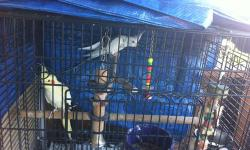 nice pair of cockatiels male &female both 2 year old not tame come w/ cage w/stantd, nest box rehoming fee is 150 for all or 120 only the birds This ad was posted with the eBay Classifieds mobile app.