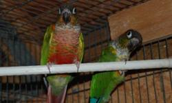 We have a great proven pair of Double Yellow Headed Amazons for sale. They are nice big birds in perfect feather with good color. They produce nice big babies with more yellow than they have and most of their babies talk before they are weaned. They are
