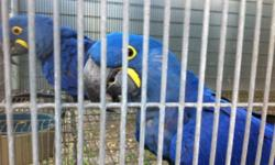 These birds are a proven pair of hyacinth macaws. I bought them from Gloria Monk(Monk Farms) in Louisiana. They are perfectly feathered, have straight beaks, are missing no nails, and are perfectly healthy, plus, are great breeders. I am asking $15,000,