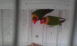 Thre proven pair, #1 fischer green, #2 peach face lutinos, #3 peach face female lutina & male green red head. All pair has chicks & eggs right now. Call or text 7864885939 Tres parejas probadas de Lovebirds. #1 fischer verdes ancestrales, #2 roseicollis