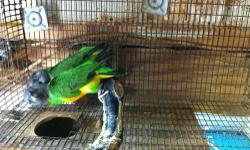 VERY GOOD & PROVEN PAIR OF SENGALS PARROTS $$$450, PERFECT FEATHERS AND LOTS OF BABIES 2 BABIES 2 TIMES A YEAR