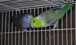 I have proven pair if beautiful Vas Eclectus Parrot. They are five years old. Very gourgeous and healthy birds, these are bigger then Solomon and female has yellow on ends of her tail