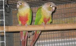 Proven for me pineapple green cheeck conure asking 300 negotiable I have 2 clutch baby this year Excellent parent sit and feed to you pull the baby . I have DNA paper for the male . pickup only 732_881_7029